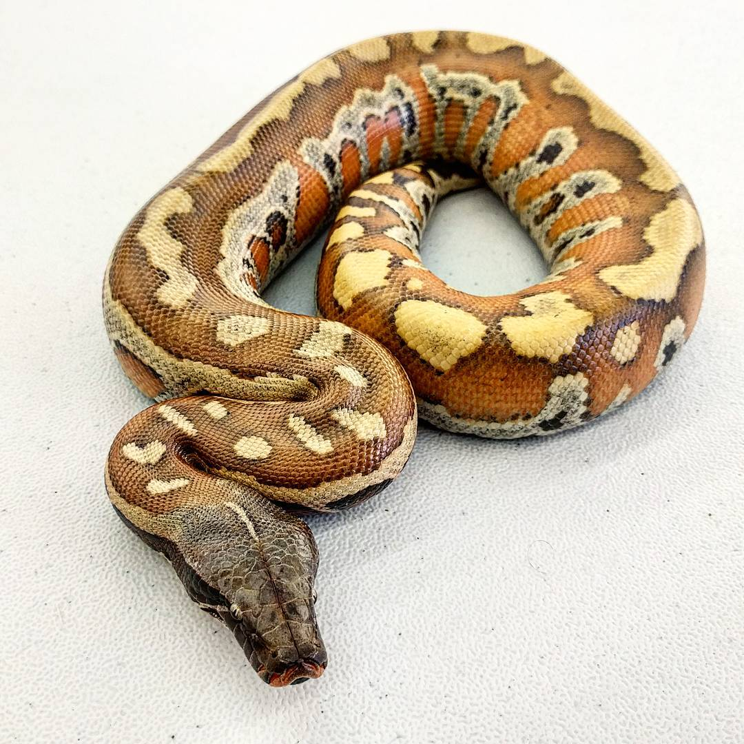 T- albino Matrix Stripe Blood Python